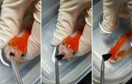 Bỏ ra gần chục triệu để phẫu thuật cho cá vàng