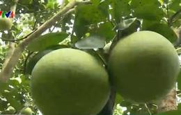 Giá bưởi Năm Roi cao kỷ lục, nông dân thu lãi hàng trăm triệu đồng
