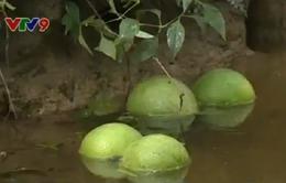 Vĩnh Long: Mưa dông gây thiệt hại nặng vùng chuyên canh bưởi Mỹ Hòa