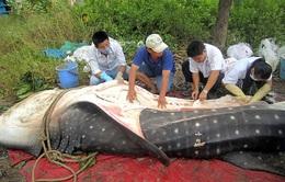 Cá Nhám Voi trong sách đỏ chết dạt vào bờ biển Khánh Hòa
