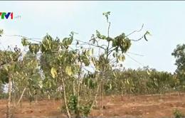 Gia Lai: Hàng ngàn hecta cà phê khô cháy vì nắng hạn