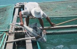 Ngư dân Lăng Cô khôi phục sản xuất sau vụ cá chết hàng loạt