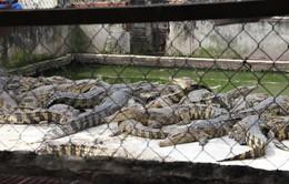 Bạc Liêu: Cá sấu giảm giá kỷ lục