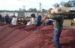 Doanh nghiệp thu mua cà phê đang gặp khó