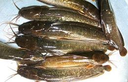 Cá trê màu vàng đẹp là vì được cho ăn... hóa chất lạ