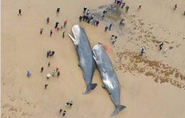 Xác cá nhà táng liên tục trôi dạt vào bờ ở nước Anh