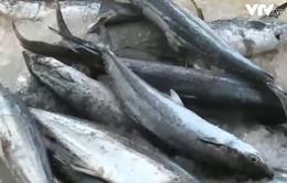 Cà Mau: Giá cá biển xuống thấp do tin đồn, ngư dân thua thiệt