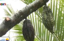 Hiệu quả thấp, nông dân Trà Vinh đốn bỏ cacao
