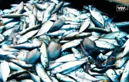 Tạm thời chưa thả giống ở vùng biển có hải sản chết bất thường