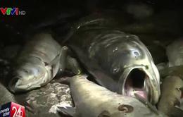 Cá chết ở Hoàng Cầu: Do khí Carbon trong hồ cao, khí Oxi thấp