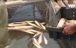 Cá lồng bè chết hàng loạt ở Hà Tĩnh chưa rõ nguyên nhân