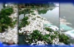 Cá lồng bè chết hàng loạt ở Đồng Tháp, An Giang