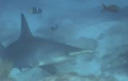 Cá mập tăng đột biến tại bờ biển California