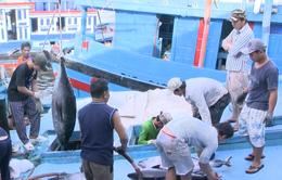 Tư thương ép giá, ngư dân câu cá ngừ gặp khó