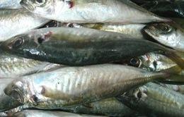 Gửi gấp mẫu cá nục chứa chất cấm phenol ra Hà Nội kiểm tra