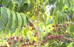 Người trồng cà phê lao đao vì mất mùa, rớt giá thảm