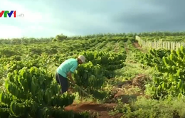 Nông dân khó tiếp cận vốn vay tái canh cà phê