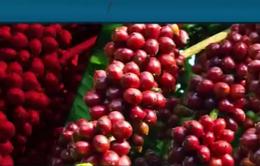 28/100 mẫu cà phê không đảm bảo chất lượng