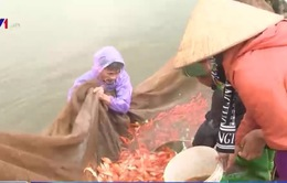 """Phú Thọ: Làng Thủy Trầm tất bật mùa """"cá chép đỏ"""""""