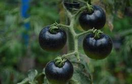 Cà chua đen giảm giá mạnh