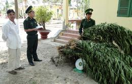 Bình Thuận: Phát hiện, tiêu hủy cây cần sa trồng trái phép
