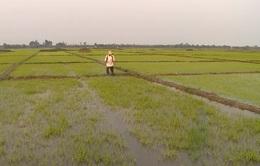 Quảng Trị xây dựng hơn 1.381 ha cánh đồng mẫu lớn
