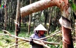 Nỗi lo tái nghèo từ cây làm giàu của nông dân miền Trung