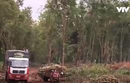 Đăk Lăk: Người dân tự ý chuyển nhượng đất trồng cao su