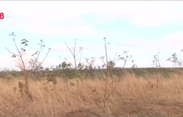 Nghịch lý trong việc giao đất rừng trồng cao su