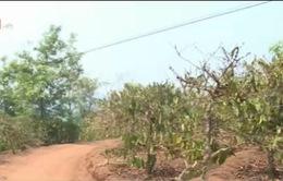 Thiếu nước tưới nghiêm trọng tại Tây Nguyên