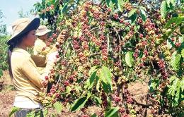 Nông dân Tây Nguyên khó tiếp cận vốn tái canh cà phê