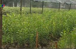 Người trồng cây cảnh, hoa Tết chật vật trong giá lạnh kỷ lục