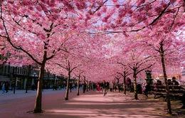 1 vạn cành hoa anh đào Nhật Bản khoe sắc ở Hà Nội