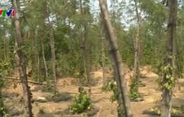 """Vùng cây công nghiệp """"chết mòn"""" vì khô hạn"""