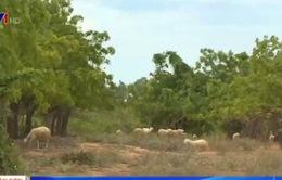Ninh Thuận: Trồng cây chắn cát ngăn sa mạc hóa