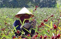 Thương lái quay lưng với bụt giấm, nông dân Bình Thuận điêu đứng