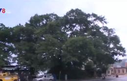 Phát huy giá trị cây di sản trong khai thác du lịch