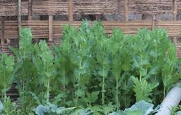 Phát hiện nhiều nhà dân trồng cây thuốc phiện trái phép