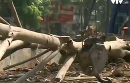 Hà Nội: Hàng chục cây xanh mới trồng đã chết khô, bật gốc