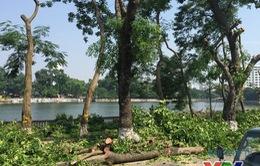 Hà Nội dịch chuyển 24 cây cổ thụ trên phố Kim Mã