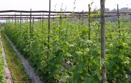 Người Mường chuyển đổi cây trồng vùng hạn cho thu nhập cao