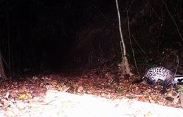 2 loài cầy quý hiếm tại Việt Nam bị nguy cấp