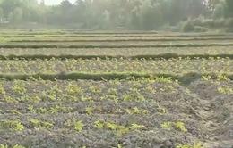Quảng Nam chuyển đổi diện tích lúa sang cây trồng chống hạn