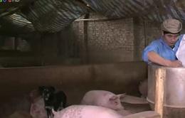 Người chăn nuôi ủng hộ quy định phạt tù nếu sử dụng chất cấm