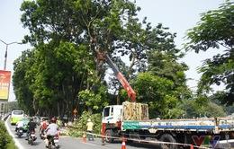 Hơn 100 cây xanh di dời trên phố Kim Mã giờ ra sao?