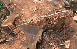 Tình trạng chặt phá rừng đặc dụng tại Hà Giang diễn biến phức tạp