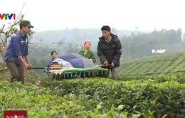 Chè Việt khó hưởng lợi từ các Hiệp định kinh tế: Vì đâu nên nỗi?