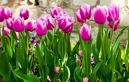 Hà Lan xuất khẩu 4 tỷ Euro hoa tươi mỗi năm