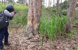 7 dự án ở Lâm Đồng có tình trạng lấn chiếm đất rừng