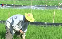Nắng hạn, gia tăng chuột hại lúa tại Phú Yên